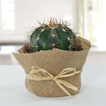 Amazing Cactus with Jute Wrapped Pot: Outdoor Plants