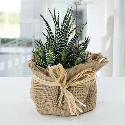 Jute Wrapped Howarthia Plant: Indoor Plants