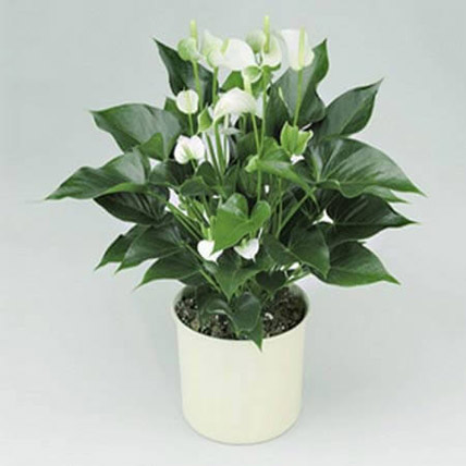 White Anthurium Plant: Business Gifts