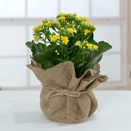 Jute Wrapped Yellow Kalanchoe Plant: Outdoor Plants