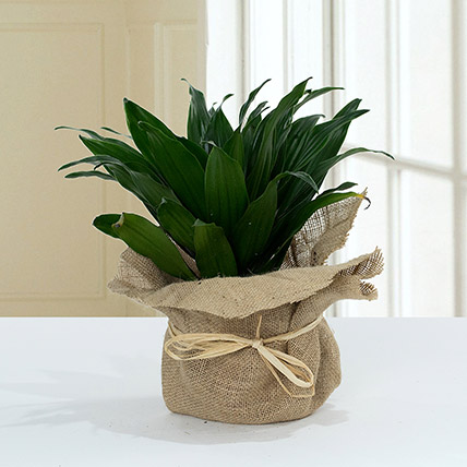 Green Elegance in Jute Wrapping Pot: Cactus Plants and Succulents Plants