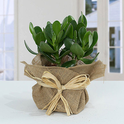 Classic Crassula in Jute Wrapping Pot: Outdoor Plants to Ras Al Khaimah