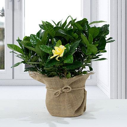 Gardenia Jasminoides with Jute Wrapped Pot: Flowering Plants