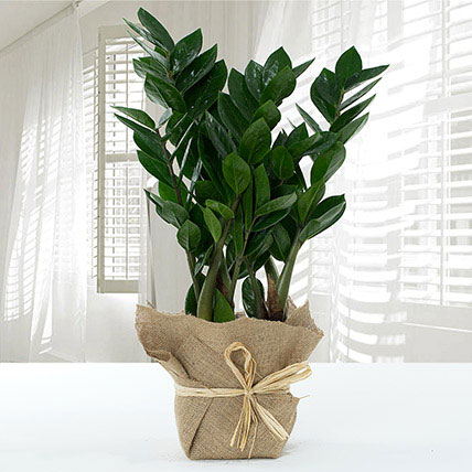 Jute Wrapped Zamia Potted Plant: Succulent Plants