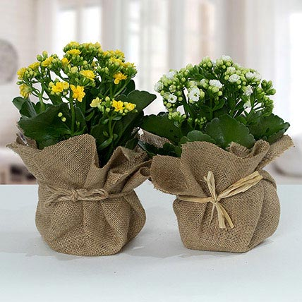 Jute Wrapped Dual Potted Plants: Flowering Plants