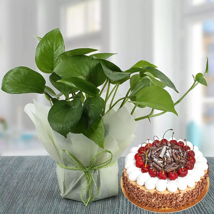 Money Plant and Blackforest Cake Combo: Black Forest Cake