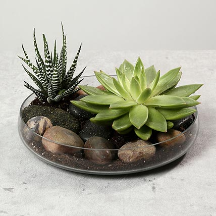 Green Echeveria and Haworthia with Natural Stones: Dish Gardens