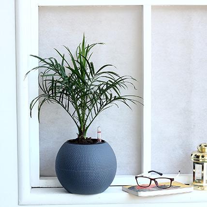 Areca Plam Plant in Plastic Pot: Shrubs