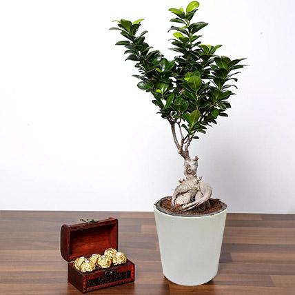 Ficus Bonsai Plant In Ceramic Pot and Chocolates: Bonsai Plants