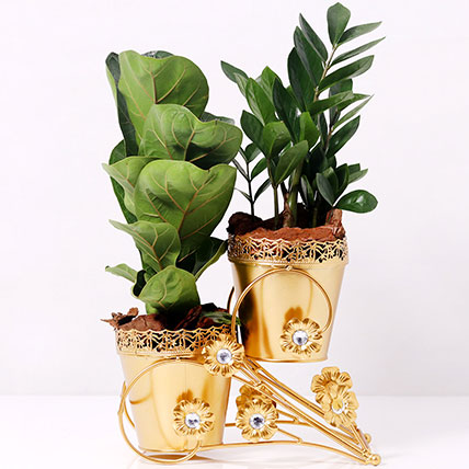 Ficus and Zamia Plant in Dual Golden Pot: Plant Combos