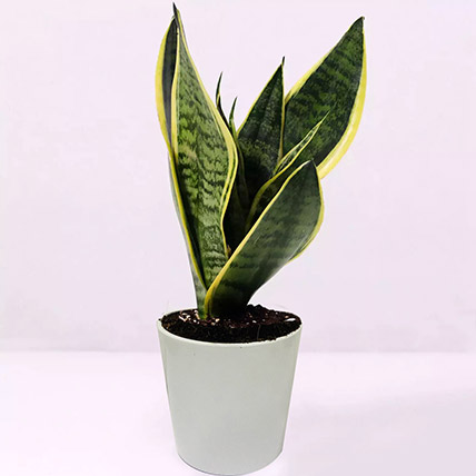 Sansevieria Plant In Ceramic Pot: Desk Plants