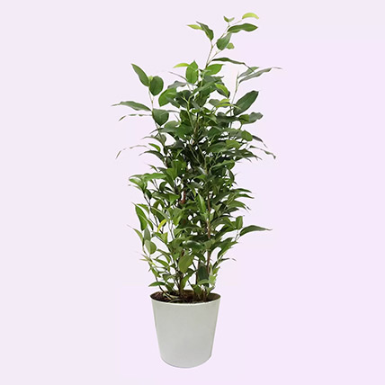 Ficus Plant In Ceramic Pot: Desk Plants