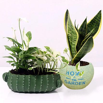 Celebrate with Plants: Money Plants