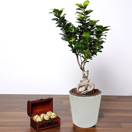 Ficus Bonsai Plant In Ceramic Pot and Chocolates: