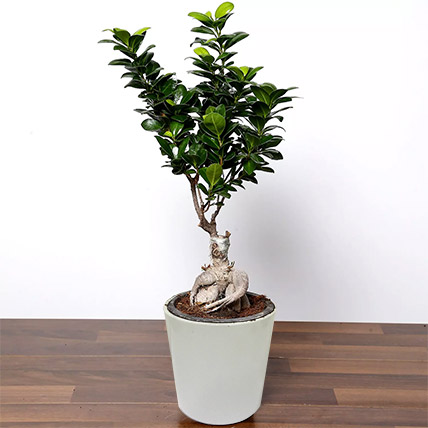 Ficus Bonsai Plant In Ceramic Pot: Plants for Birthday Gift