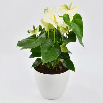 White Anthurium Plant In Ceramic Pot: Plants