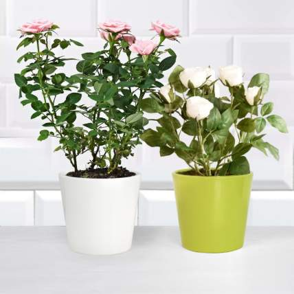 Pink and White Rose Plant: Indoor Plants