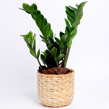 Potted Zamia In Cane Basket: Plants