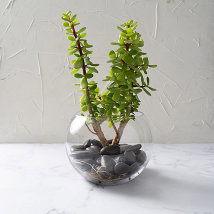 Jade Plant In Glass Bowl: