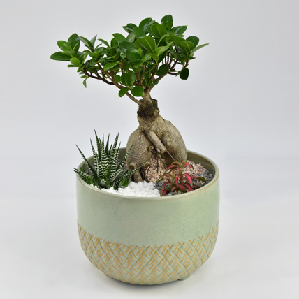 Bonsai Garden: Indoor Bonsai Tree