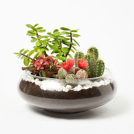 Jade With Fittonia & Cactus Plant In Small Fish Bowl: