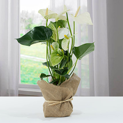 White Anthurium Jute Wrapped Potted Plant: Anthuriums