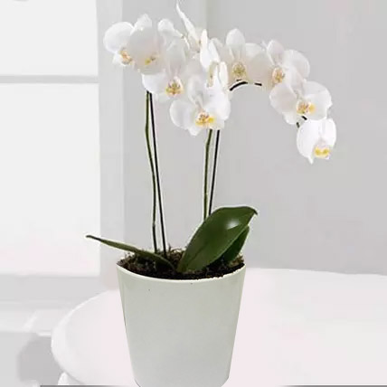 White Phalaenopsis Orchid Plant: Plants Delivery in Qatar