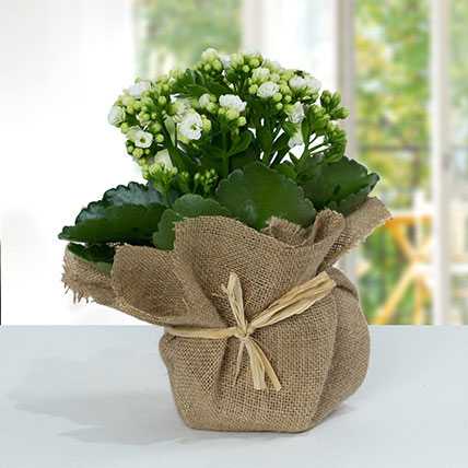 Jute Wrapped White Kalanchoe Plant: Outdoor Plants To Qatar