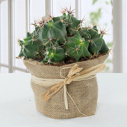 Lovely Cactus In Jute Wrapped Pot: Indoor Plants To Qatar