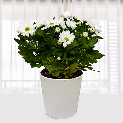 White Chrysanthemum Plant: Send Indoor Plants To Qatar