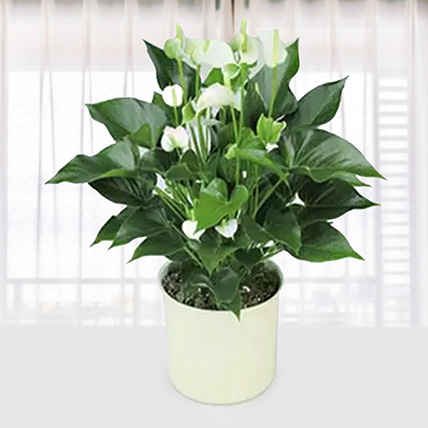 White Anthurium Plant: Fathers Day Gifts to Qatar