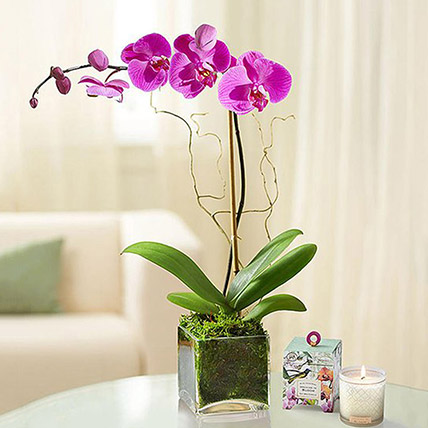 Purple Orchid Plant In Glass Vase: Gifts To Dammam