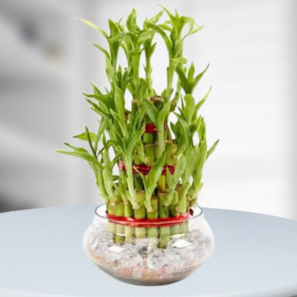 3-layer-lucky-bamboo-plant